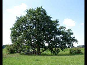 Rüsselsheim Subregion / Acht-Geschwister-Eiche bei Wallerstädten ist seit kurzem ein Naturdenkmal.